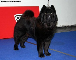 Chow Chow Negro