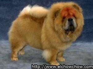 El scowl en un chow chow, esta resaltado en color rojo.