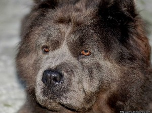 Ojos del Chow Chow