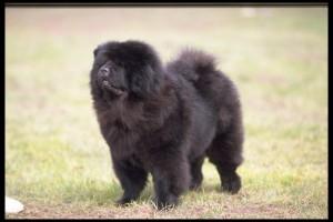 Chow Chow negro de pedigree.