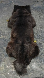 Cuerpo del Chow Chow